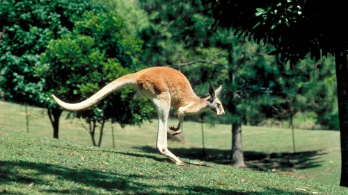 Wonders of Life - Kangaroo